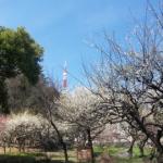 梅と東京タワー