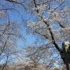 桜のシーズンですね。