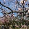 [都内の梅篇] 羽根木公園に行ってきた。